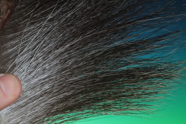 3. Select some long Moose mane hairs.